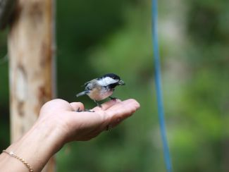 Friendly chickadee by