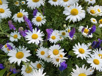 Sunny Daisies by