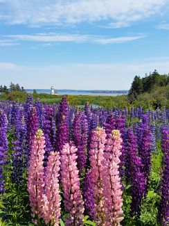Lupins With A View by