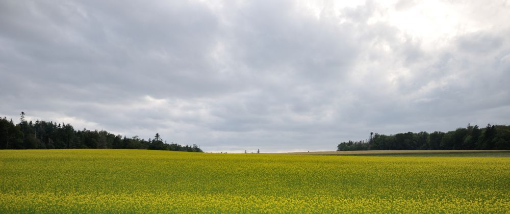 """Canola Field"", by Barb King. Taken at PEI."