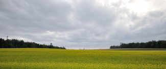 Canola Field by