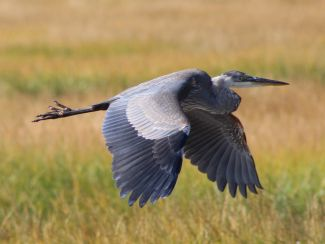 Great Blue Heron in Flight by