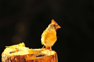Juvenile Cardinal (F) by