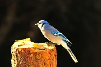 Blue jay by