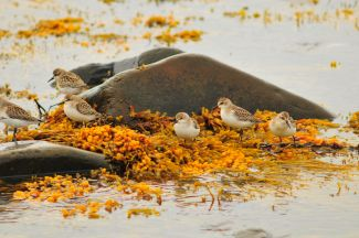 Sandpipers by