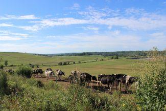 Cows, field, sky by