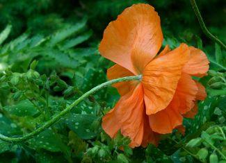in full bloom by