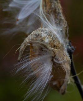 Closeup of a burst milkweed pod. by