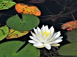 Lily Pad by
