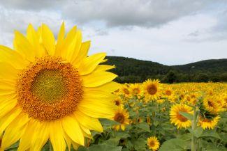 Sunflower Farm by
