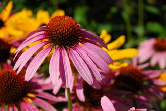 echinacea by