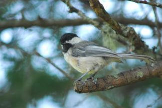 Chickadee by