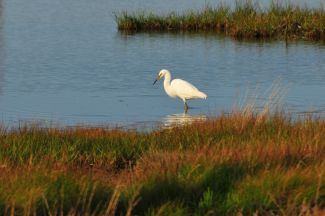 White Egret by