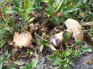 Fallen Fungus by
