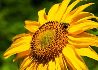 Pollen covered Bee on Sunflower by