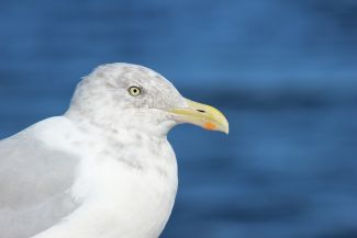 Seagull by