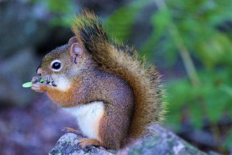 Squirrel on a Rock by