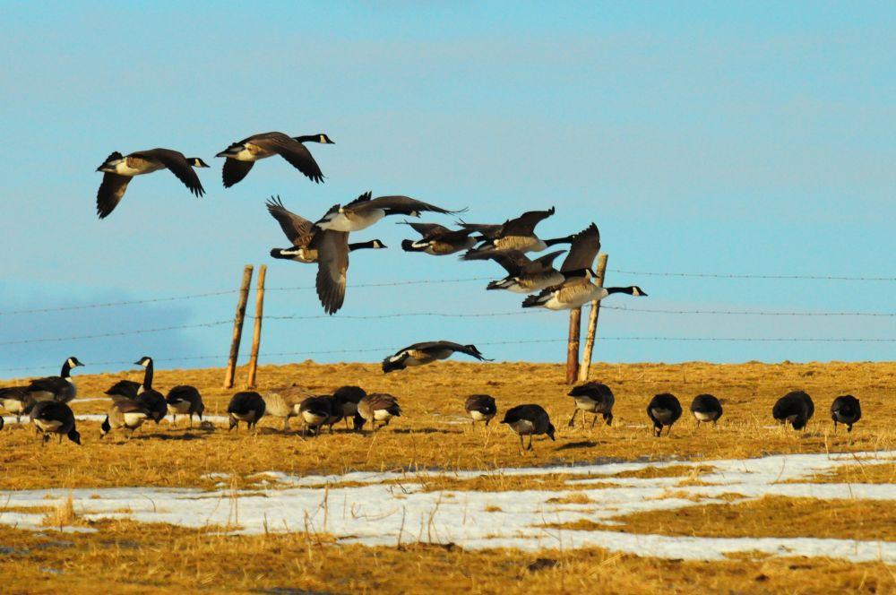 """""""Canadian Goose"""", by Glen Nearing. Taken at Yarmouth."""