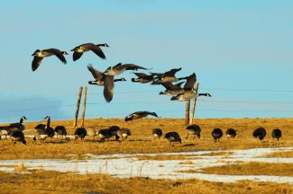 Canadian Goose by