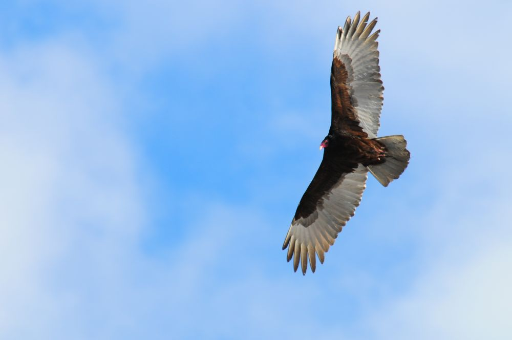 """""""Turkey Vulture"""", by Glen Nearing. Taken at Yarmouth County."""