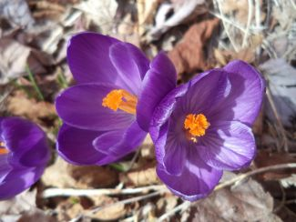 First Flowers of Spring by