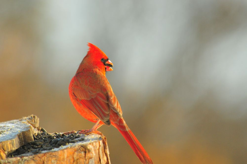 """Cardinal (M)"", by G. NEARING. Taken at YARMOUTH N.S.."