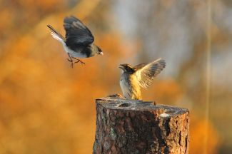 Junco & Sparrow by