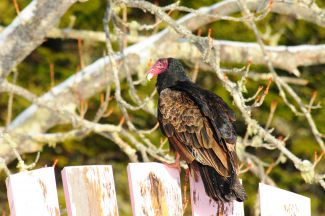 Turkey Vulture by