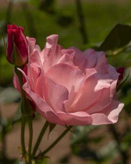J. KG Rose -
