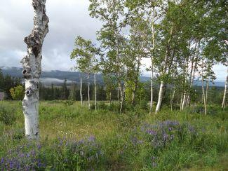 White Birch & Purple Vetch by