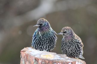 Starlings by