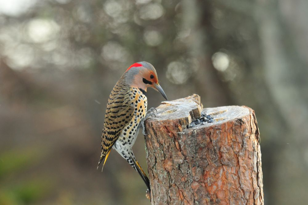 """""""Northern Flicker"""", by G. NEARING. Taken at YARMOUTH N.S.."""