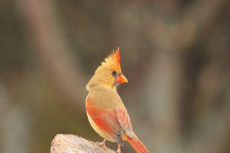 Female Cardinal by