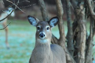 Bambi by