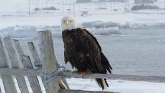 Eagle On The Old Fence by