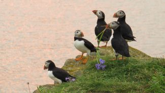 Puffins by