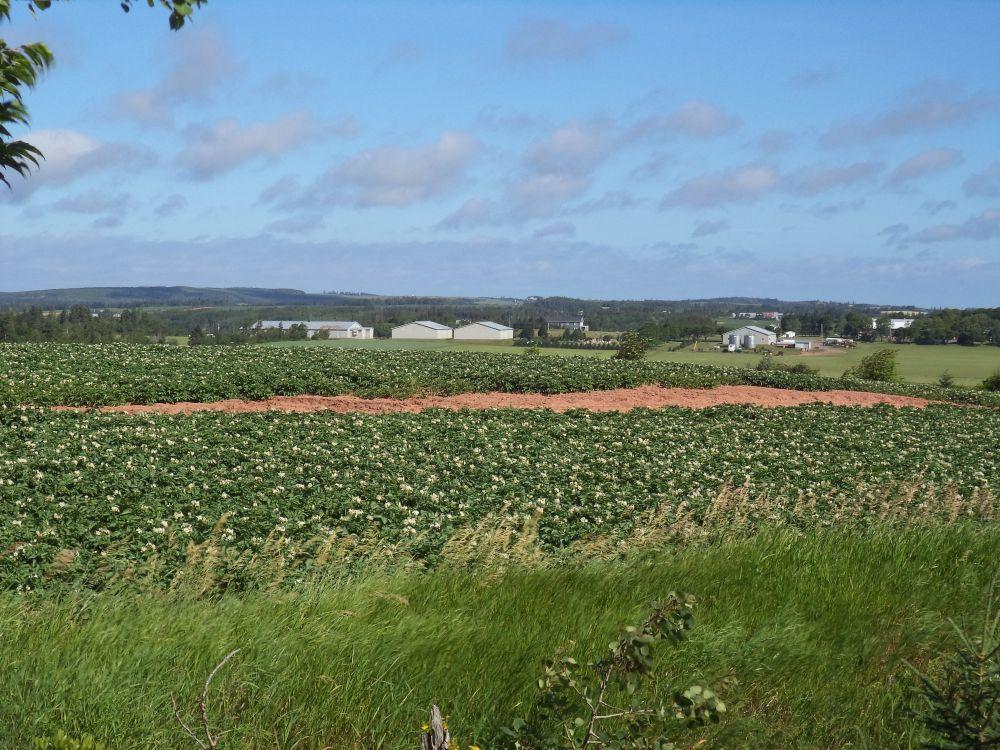 """""""Potato Fields"""", by Anita Daye. Taken at Near Cavendish, PEI."""