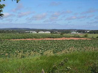 Potato Fields by