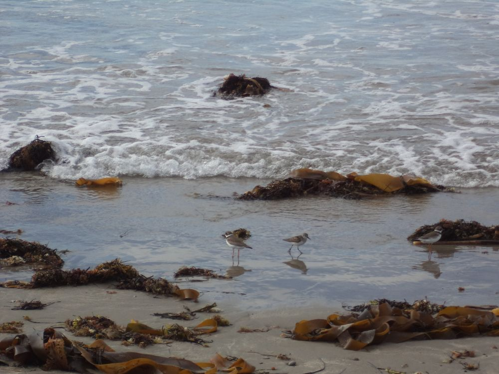 """""""Sandpipers"""", by Anita Daye. Taken at Martinique Beach, NS."""