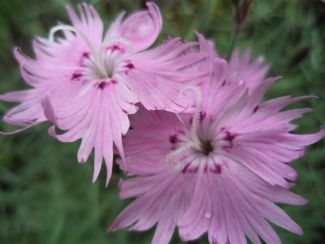 Pinks by