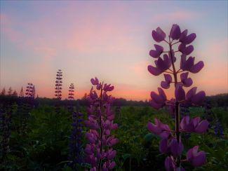 Dreamy Lupin Heaven by