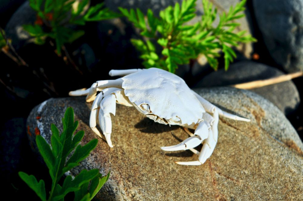 """Weather Bleached Crab"", by G.NEARING. Taken at YARMOUTH CO.."