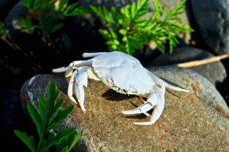 Weather Bleached Crab by
