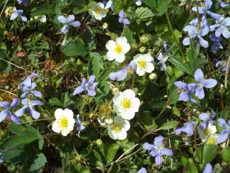 Violets & Wild Strawberry Blossoms by