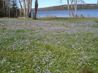 Field of Blue Violets by