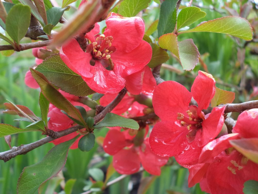 """Flowering Quince"", by Anita Daye. Taken at Upper Lakeville, NS."