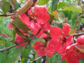Flowering Quince by