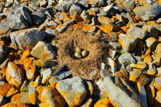 Seagull Nest by