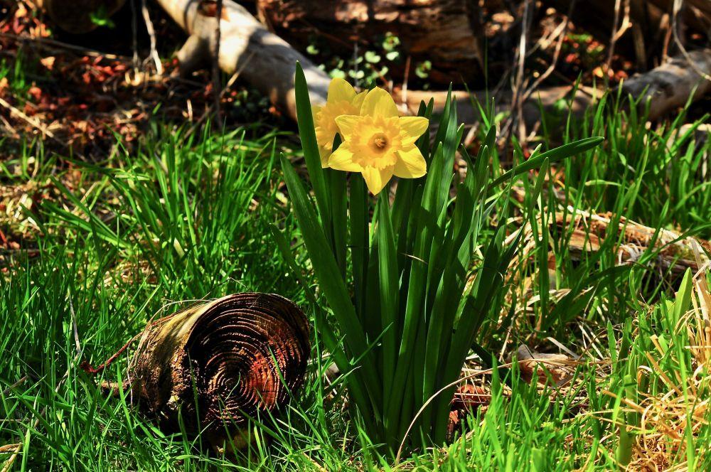 """Daffodil"", by Glen Nearing. Taken at Yarmouth NS."