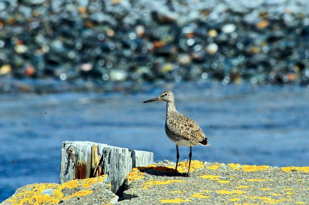 """Sandpiper"", by GLEN NEARING. Taken at Yarmouth NS."